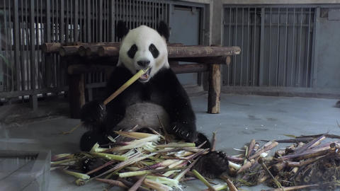 Giant Panda Eating Bamboo In Chengdu Research Center China Asia Footage