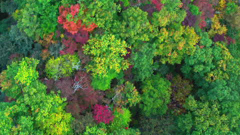 Aerial video of the mountain that is colored by autumn leaves. track-up tilt-up Footage