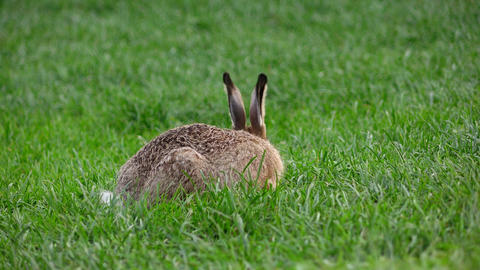Wild hare nibble grass on lawn, brown fur and long ears stick up, rear view Footage
