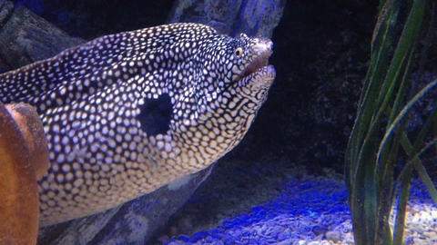 Close up of honeycomb moray eel underwater Footage