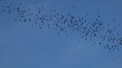 Bats flying on blue sky in evening Footage