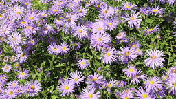 Blue asters blowing in the wind Footage