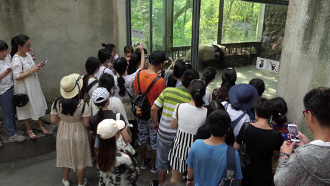 Asian People Looking At Giant Panda In Chengdu China 画像