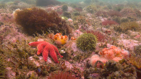 Fascinating underwater dive in the Pacific ocean off the Kamchatka Peninsula. Footage