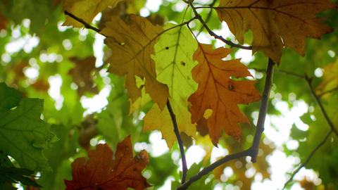 Closeup timelapse of autumn leaves changing colors Footage