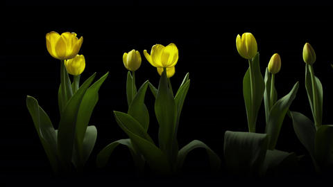Yellow and pink tulips blooming timelapse over black Footage