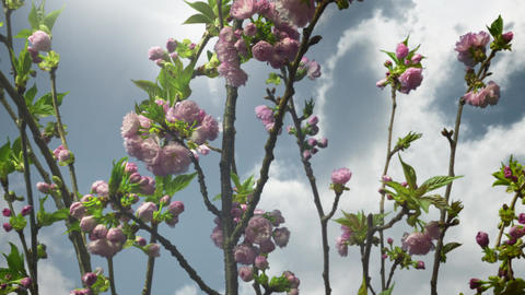 Clouds timelapse over light purple blooming flowers and trees Footage
