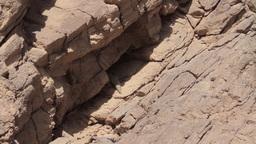 Ornate mastigure lizard in the rocky desert Footage