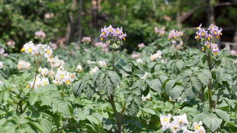 Potato Flower stock footage