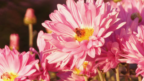 Flower fly on a flower pink chrysanthemum Stock Video Footage