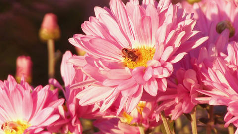Flower fly on a flower pink chrysanthemum Live Action