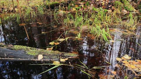 swamp with dark water in autumn forest Footage