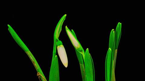 Soft White Snowdrops Blossom Footage