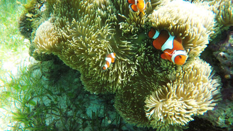 Sea anemone and clown fish Footage