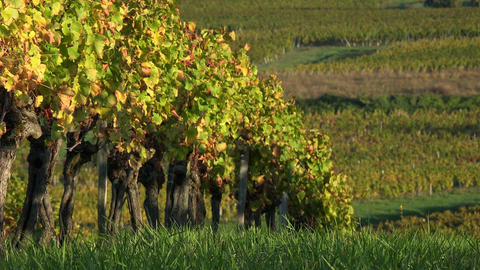 Vineyard landscape at sunrise-Vineyard south west of France-Sauternes-Loupiac Footage
