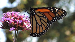 Monarch Butterfly Filmmaterial