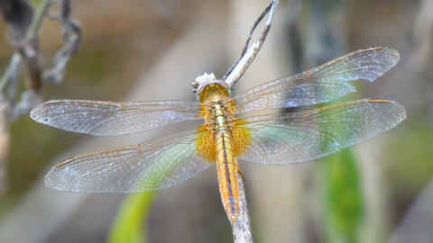 4K Close up shot dragonfly in nature place of tropical Asia 002 Footage