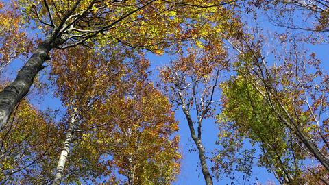 Fir trees Footage