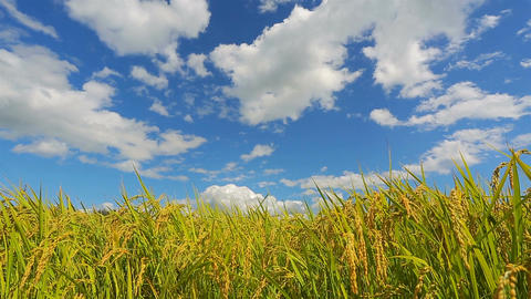 Rice field and blue sky with white clouds. Time Lapse Footage