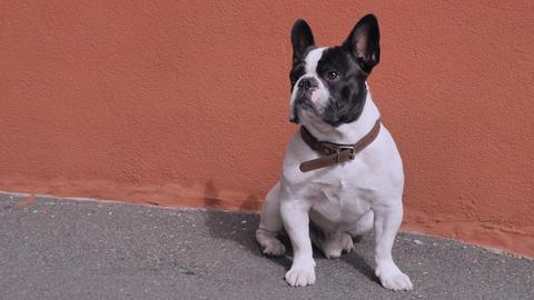 Pet sits near house Footage