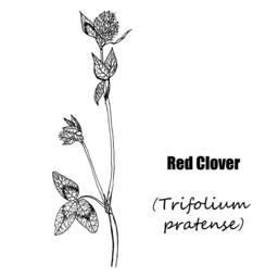 Red clover Vector