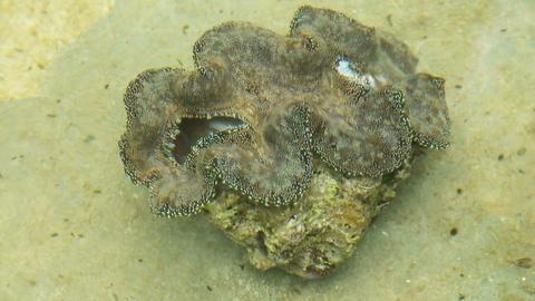 Farm giant clams,tridacna Footage