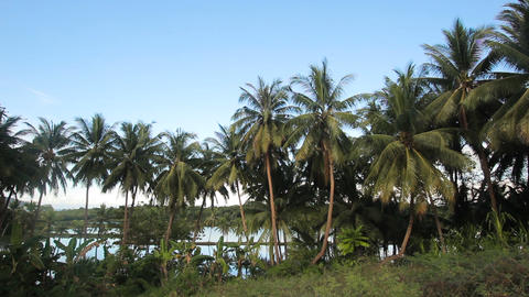 Coconut palm trees plantation in Philippines Footage