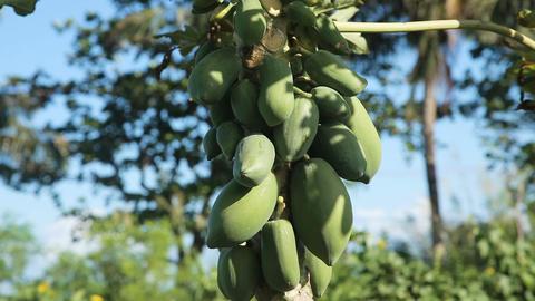 Green papaya on the tree Footage