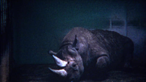 1956: Sad rhinoceros animal at zoo loaded up with sedative drugs Footage