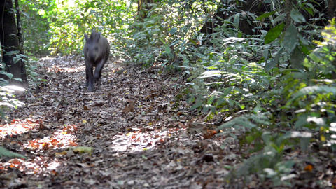 Tapir Running in a Jungle Footage
