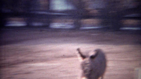 1956: Baby donkey running towards fence to greet awaiting mother Footage