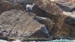 Wild Goat Perched On A Rock In The Sea stock footage