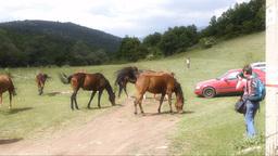 Woman shooting herd of horses on pasture Footage