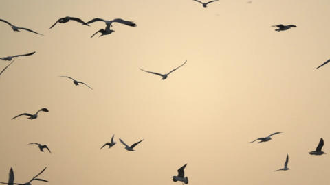 Flock of Birds Flies Across Sky at Sunset Footage