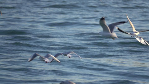 Majestic Seagulls Fly Above Ocean Footage