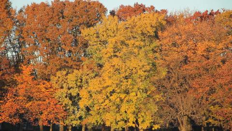 Autumn Leaves / Fall Colors / Trees / Morning - Fix ビデオ