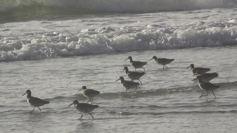 Birds Wade Along Ocean Shore Footage