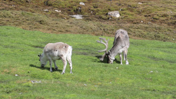 Reindeer in the green grass Footage