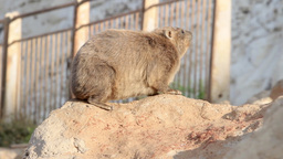 Rock hyrax stands on a rock Footage
