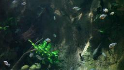 piranha Footage