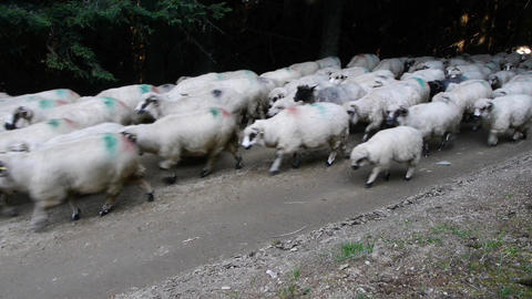 White Herd Of Sheep Passing Through A Dense Pine Forest, Along A Forest Road 75b stock footage
