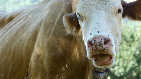 Brown cow who sit and ruminate while lot of flies sitting on her muzzle 54a Footage