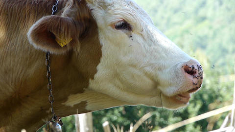 Brown cow who sit and ruminate while lot of flies sitting on her muzzle 54b Footage