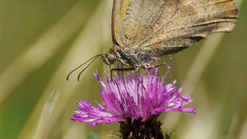 Butterfly looking for pollen in a purple thistle flower 66b Footage
