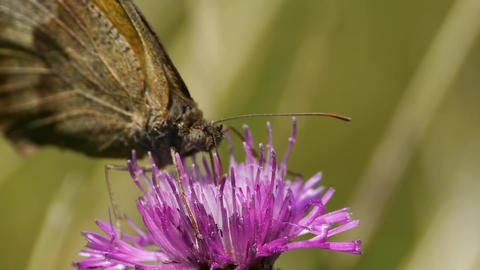 Butterfly Looking For Pollen In A Purple Thistle Flower 68b stock footage