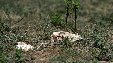 Cow skull sunburnt in the forest in short green grass 58 Footage