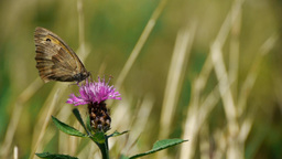 Butterfly looking for pollen in a purple thistle flower 65b Footage