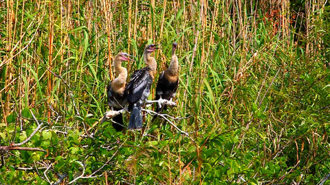Anhingas Everglades National Park Footage