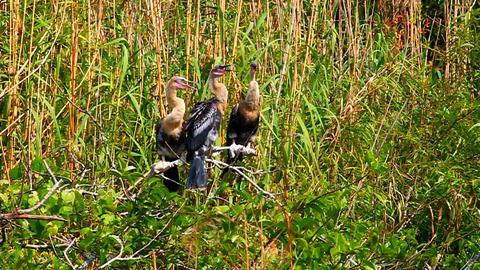 Anhingas Everglades National Park Footage
