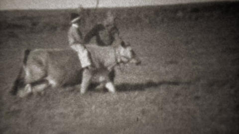 1946: Boy riding farm cow like a horse with help of father Footage